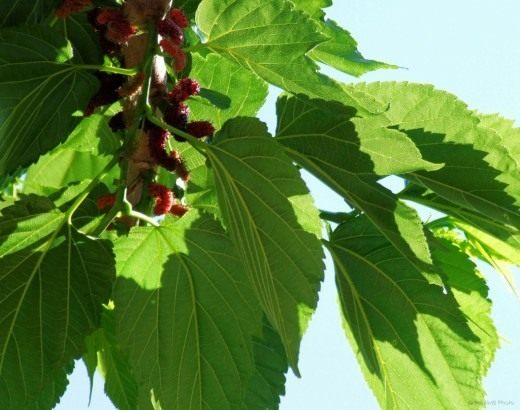 Плоды Шелковицы чёрной