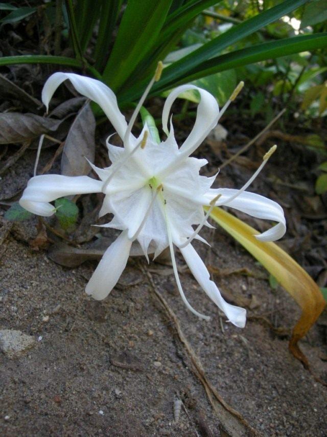 Панкраций цейлонский (лат. Pancratium zeylanicum)
