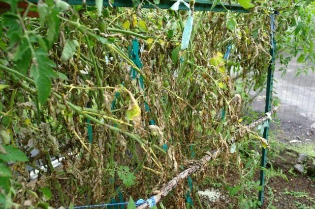 Растения томата пораженные фотофторозом
