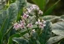 Псевдоэрантемум — из семейства стреляющих растений