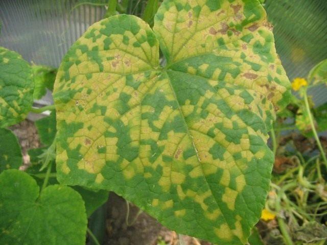 Ложная мучнистая роса, или Пероноспороз на листе огурца