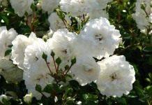 Укрытая пеной цветков почвопокровная роза «Морская пена»