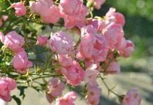 Почвопокровная обильноцветущая роза «Летний ветер»