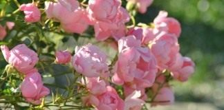 Роза садовая, сорт «Летний ветер» (Summerwind)