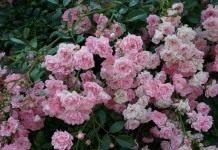 Выносливая королева почвопокровных роз «Фея»