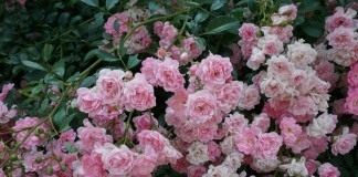 """Роза """"The Fairy"""""""