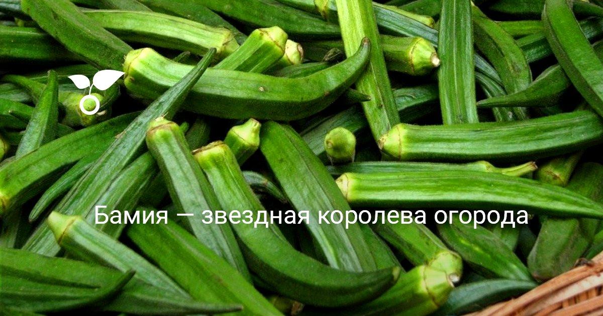 Бамия выращивание в россии 11