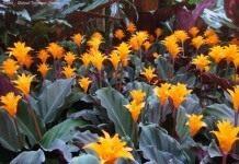 Калатея — молитвенный цветок