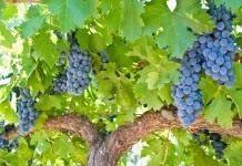 Виноградная лоза, рожденная дарить бессмертие