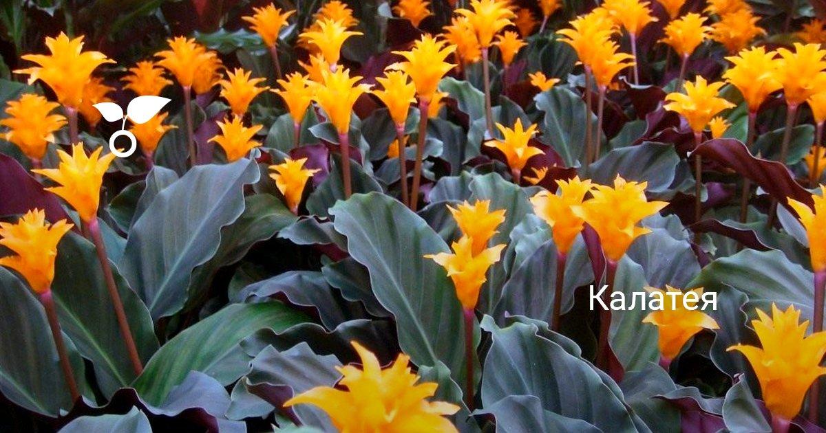Калатея (70 фото): виды, уход и выращивание