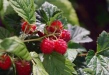 Как увеличить урожай малины?