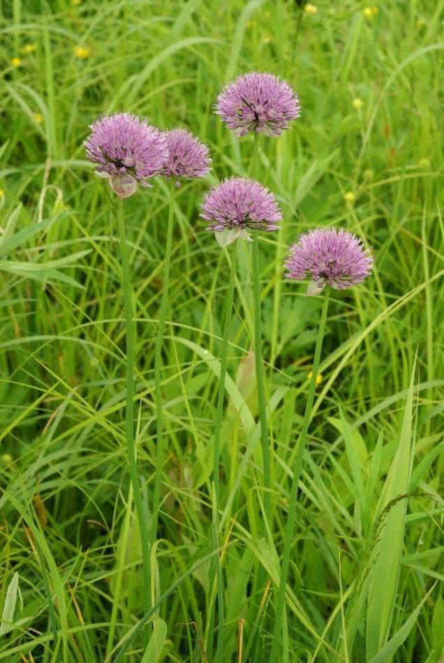 Лук Максимовича (Allium maximowiczii)