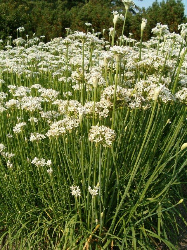 Лук клубневый, или клубненосный (Allium tuberosum)