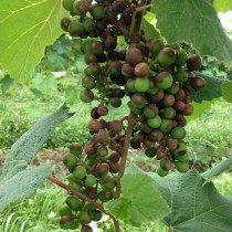 Чёрная гниль винограда
