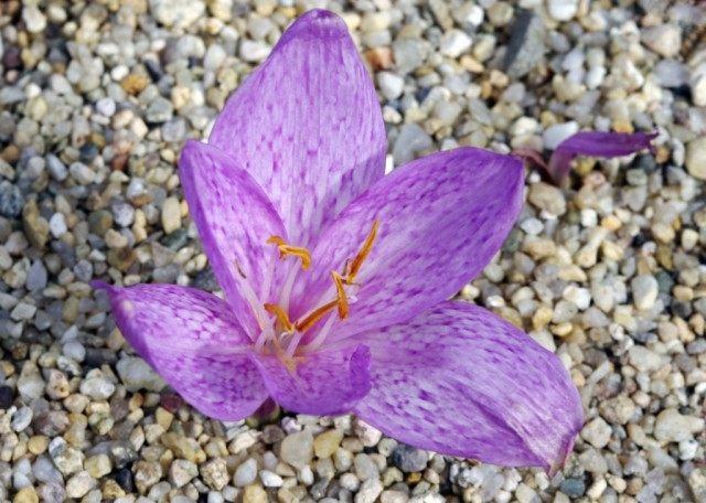Безвременник пёстрый (Colchicum variegatum)