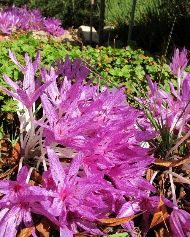 Безвременник пестрый (Агриппы) (Colchicum agrippinum / tessellatum)