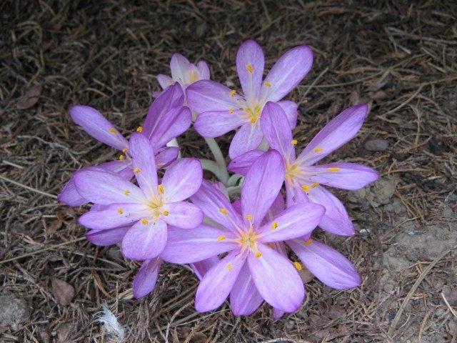 Безвременник киликийский (Colchicum cilicicum)