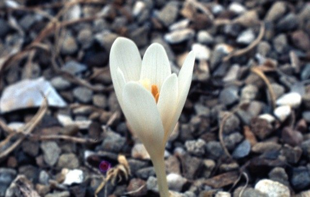 Безвременник Кочи (Colchicum kotschy)