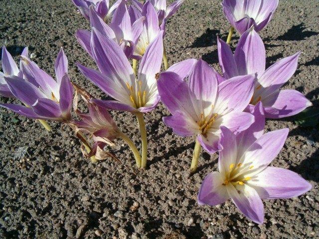 Безвременник великолепный (Colchicum speciosum)
