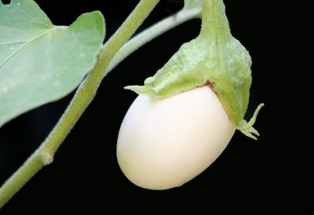 Мини-баклажан «Белое яйцо»