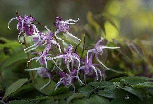 Горянка, или Эпимедиум крупноцветковый 'Queen Esta' (Epimedium grandiflorum)