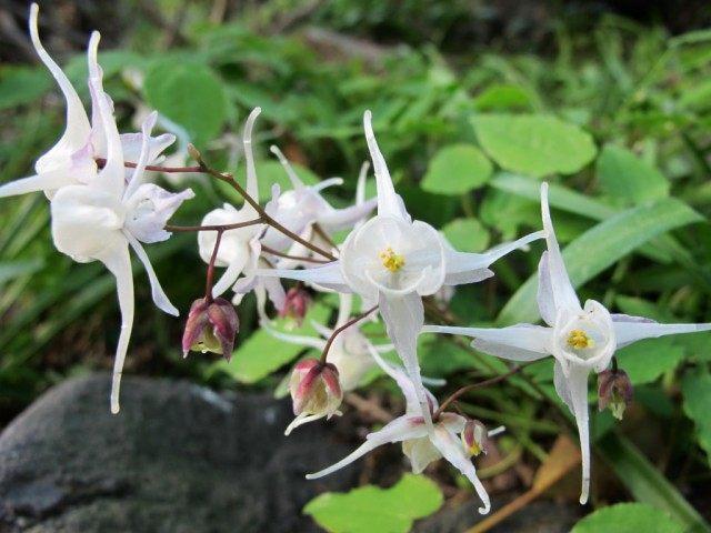 Горянка, или Эпимедиум Юнга 'Niveum' (Epimedium x youngianum)