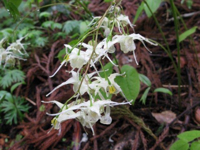 Горянка, или Эпимедиум корейский (Epimedium koreanum)
