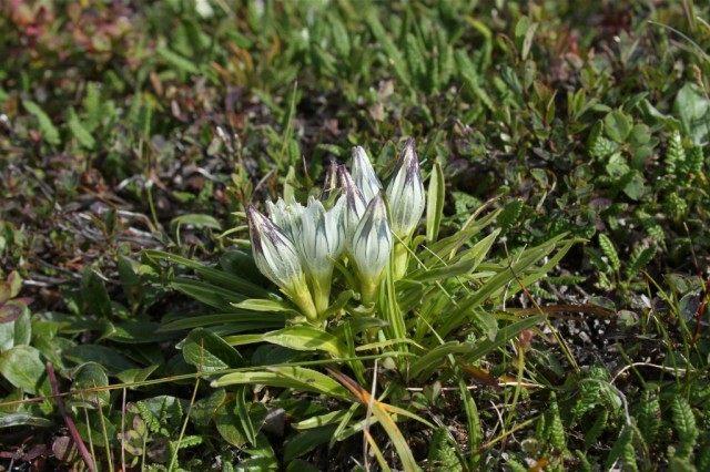 Горечавка холодная (Gentiana algida)