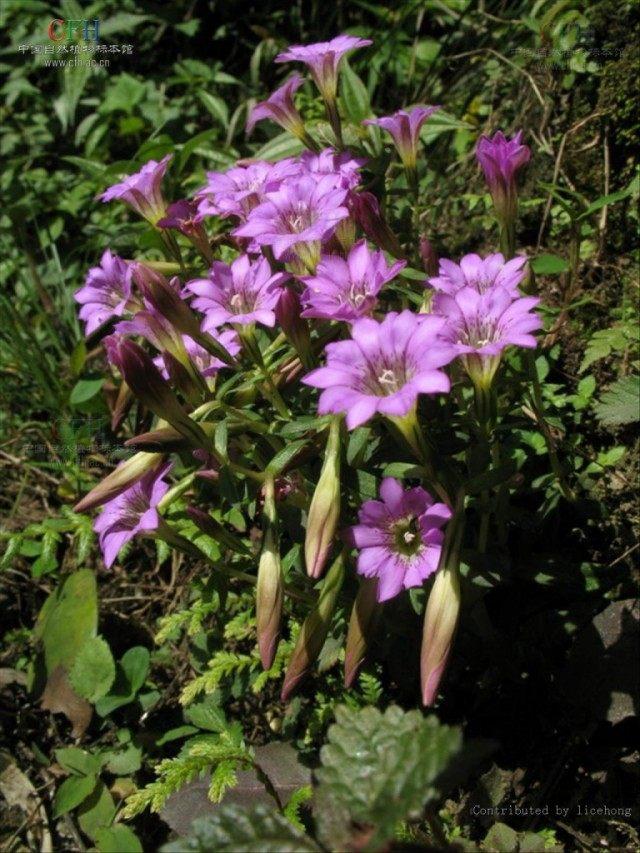 Горечавка твердеющая (Gentiana rigescens)