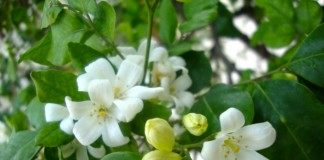 Цветы муррайи метельчатой