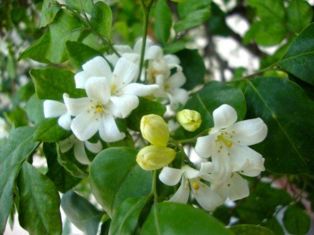 Муррайя метельчатая, или Муррайя иноземная (Murraya paniculata)