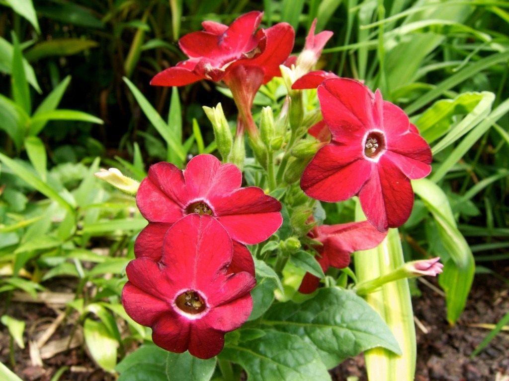 Как выращивать табак из семян