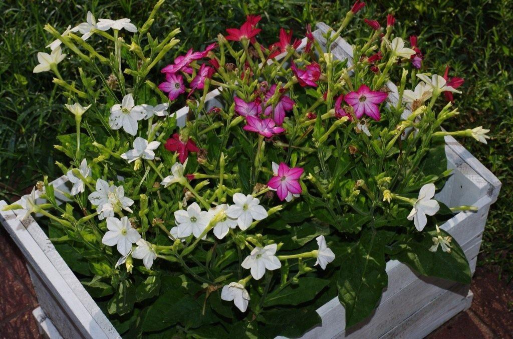 Как вырастить табак душистый из семян в домашних условиях