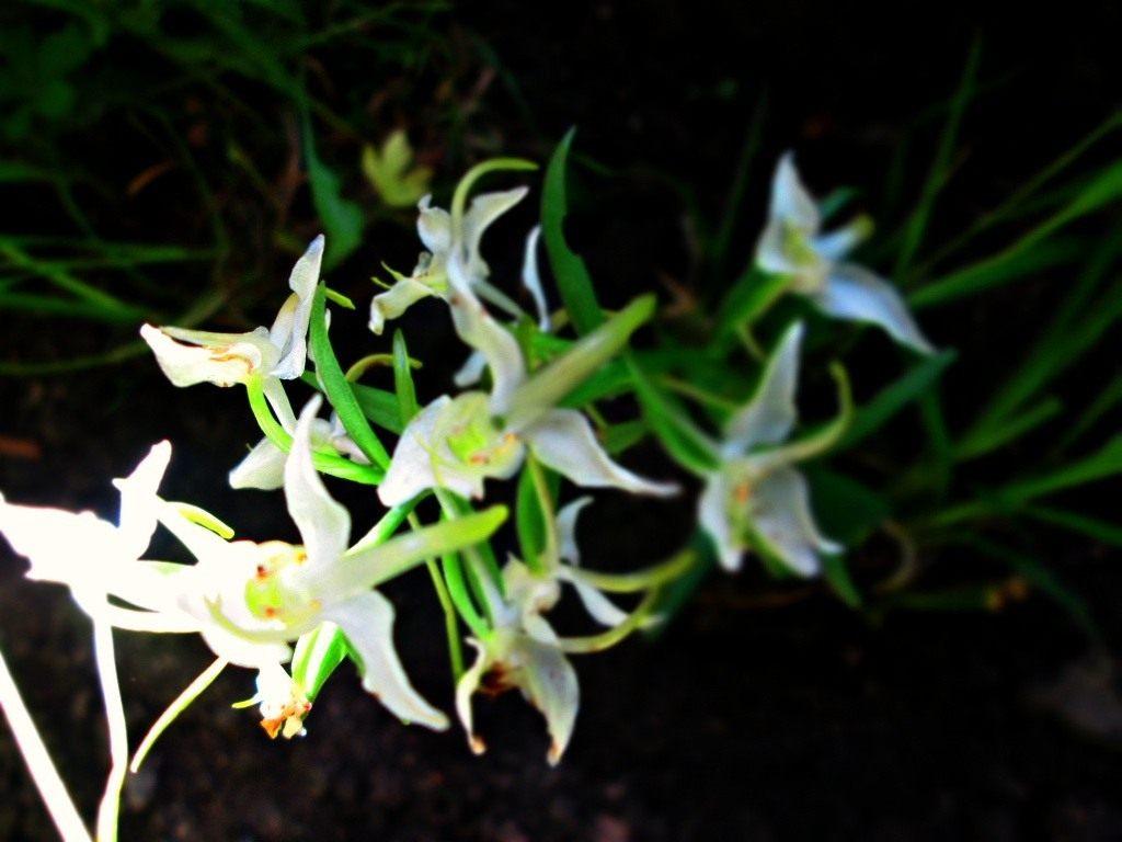 Platanthera-chlorantha