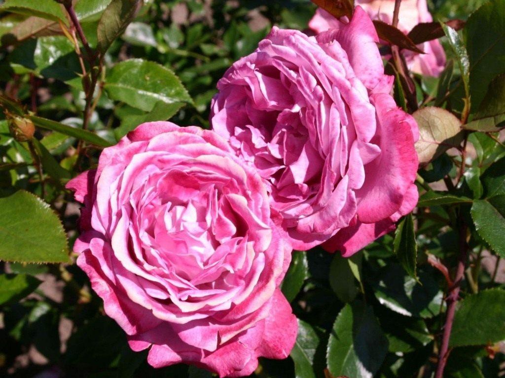 Роза голубая фото и описание и уход