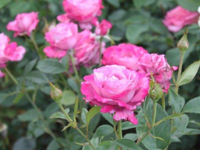 Роза «Голубая река» (Blue River)