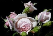 Лучшие кустарниковые розы. «Наследие» — душистая англичанка