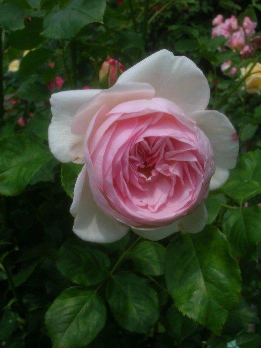 Роза Наследие (Rosa 'Heritage')