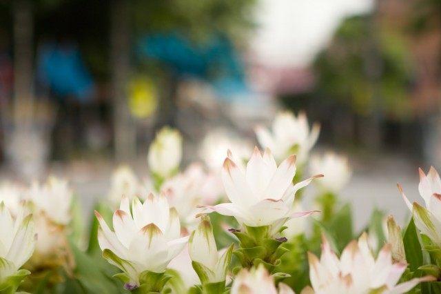 Цветы Куркумы частухолистной еще называют Сиамским тюльпаном