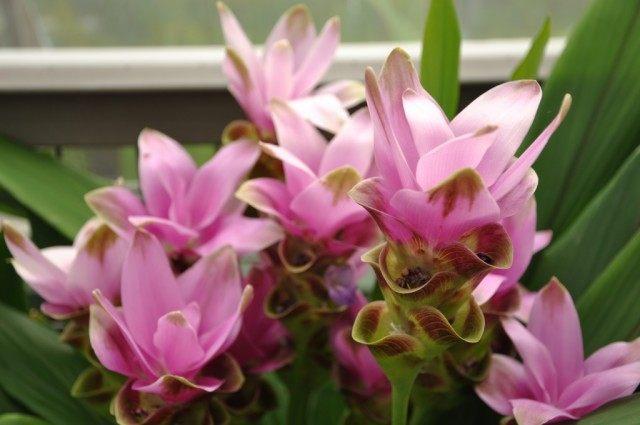 Цветки Куркумы частухолистной