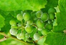 Защита винограда от грибковых заболеваний