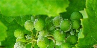 Оидиум или настоящая мучнистая роса на винограде