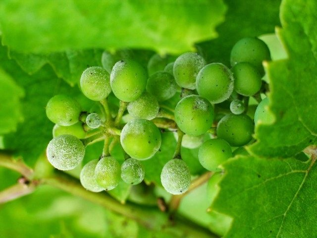 Оидиум, или Настоящая мучнистая роса на винограде