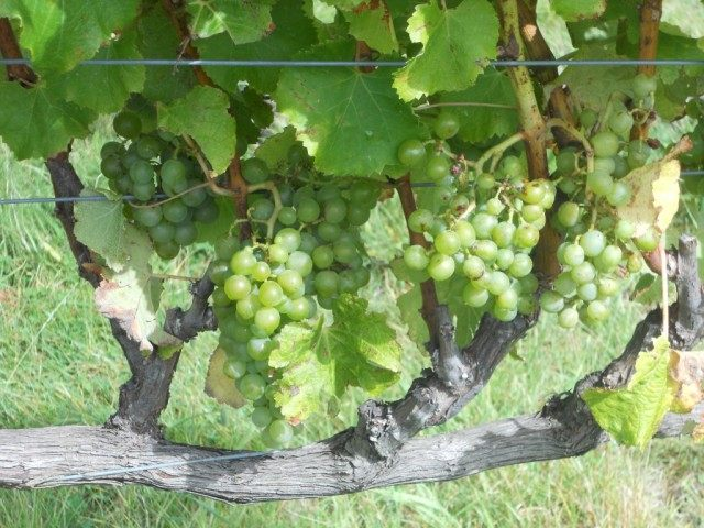 Виноградные гроздья на сформированном кусте