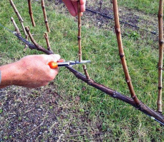Формирующая обрезка винограда
