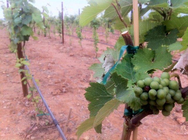 Виноград на молодых побегах винограда