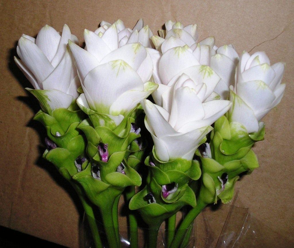 Куркума фото цветы