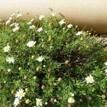 Аргирантемум фенхелевидный (Argyranthemum foeniculaceum)