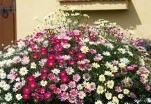 Аргирантемум — кустарник со сверхобильным цветением