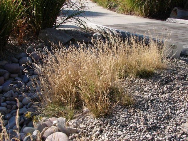 Бутелуа изящная, или пастбищная, москитная или бизонья трава